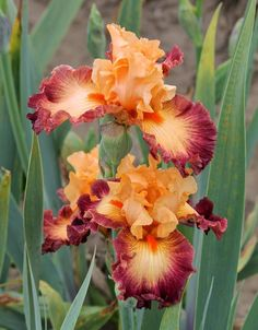 Photo of Border Bearded Iris (Iris 'Border Skirmish') uploaded by ARUBA1334 Iris Flowers, Exotic Flowers, Amazing Flowers, Planting Flowers, Beautiful Flowers, Flowers Garden, Tropical Flowers, Purple Flowers, Iris Garden