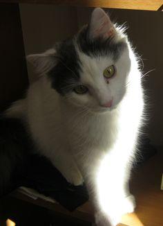 1da0fd73b56853 This kitty looks exactly like my Gizmo did! Turkish Van Cats