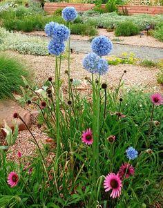 Allium Caeruleum-4 bulbi-8 lei