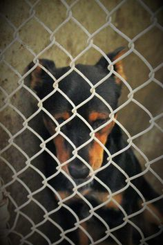 "Less than 3 hours to live....... Has an adopter!!!! FOSTER DESPERATELY NEEDED!!!!!!!!!!!!!Please only 7 hours left to save him!! He has an adopter but we need a foster or WE CAM""T SAVE HIM!!!! He is URGENT!!! On the list to die if not out before 7PM Tuesday night! He has given up and is so defeated. He knows he will die! It is just heartbreaking  Rotti mix male 1-2 years old Kennel A5*****$51 to adopt"