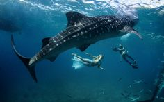 OSLOB, PHILIPPINES. Whaleshark for a one-of-a-kind photo-session. The underwater fashion shoot was the brainchild of US photographers Shawn Heinrichs and Kristian Schmidt.  Picture: Kristian Schmidt / Barcroft Media