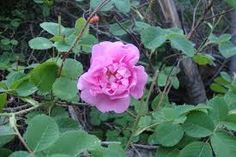 """Herb of the Week: ROSE (Rosa centifolia)  Uses: To reduce high cholesterol levels. """"To raise the spirits and cheer the heart"""" (traditional)."""
