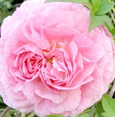 Image:David Austin rose named for Constance Spry from Moosey's Country Garden. The amazing British rose breeder David Austin named his first rose after Constance, which he introduced in 1963.