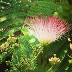 #persian silk tree in bloom