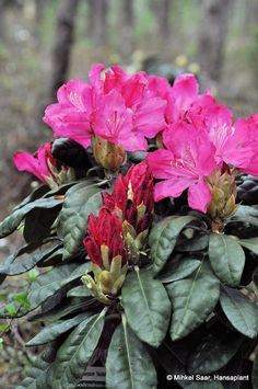 Thank you for taking a look at one of our several hundred Hybrid Rhododendrons we have for sale on Etsy and our website! At RhododendronsDirect.com, all we do is Rhododendrons.    Product Description     Bloom Color:   Pink    Bloom Season:       Late Season    Plant Height(potential in 10 years): 4 feet    Hardy to: -10 F    Container Size/Age:  One Gallon Containers - These rhododendrons come in various plant sizes and will be rooted into a one gallon container. These range from being a…