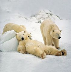 Relaxed Polar Bears Photograph by Michio Hoshino/Minden Pictures/National Geographic