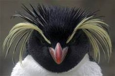 rockhopper penguin - Yahoo Image Search results