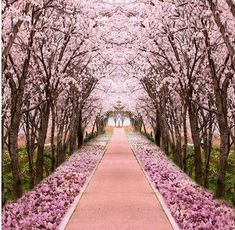 3D Pink Cherry Blossom Trees Wallpaper Mural for Home or Business