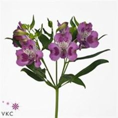 Alstroemeria Berlin - 2018 Wedding Trend: Ultra Violet Purple. For lilac and purple wedding flowers to suit your colour scheme, visit our website at www.trianglenursery.co.uk/fresh-flowers!