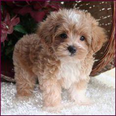 A gorgeous coloured maltipoo. One of the most adorable breeds of dogs