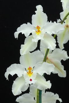 Odontoglossum Orchid Growing & Care Tips