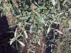 The olive tree is going to blossom