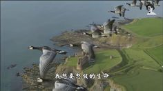 FLOCK   OF   MIGRATING   GEESE   IN   HOT  COUNTRIES