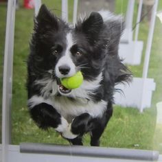 New in the life of Asha...! Asha Demonstrating Flyball at Mountstewart Co. Down...The first picture she ever got published in#The County Down Chronicle#Co. Down Extra#Border Collie