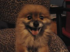 "My Ozzie, a Pomeranian. He was a rescue. I got him at four years old. His toenails were two inches long and he had a hard time walking until we cleaned him up. His previous owner said he was in a backyard where three large  dogs ""used him as a soccer ball"". He was the best dog I ever had!"