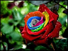 The Rainbow Roses !! It's Awesome...!!  The Rainbow roses were created by Dutch flower company owner Peter VanDe Werken, who produced them by developing a technique for injecting natural pigments into their stems while they are growing to create a striking multicolored petal effects. The dye are produced from natural plant extracts and absorbed by the flowers as they grow. A special process then controls how much color reaches each petal- with spectacular results.