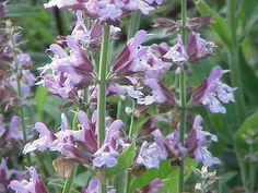 Sálvia - Os benefícios dessa planta medicinal e ornamental