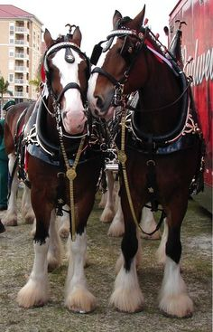 The lead Clydesdales saying hello to each other at the Riverwalk, Bradenton FL