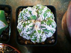 "Astrophytum Myriostigma cv.fukuryu hakujyo ""thailand"""