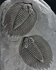 Arctinurus boltoni Trilobite | #Geology #GeologyPage #Trilobite #Fossil Name: Arctinurus boltoni (Bigsby, 1825) Age: Lower Silurian Location: Rochester Shale Formation, Caleb's Quarry , Middleport,...