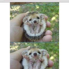 porci-cutie-pine