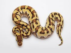 PHANTOM TIGER YELLOW BELLY Snake