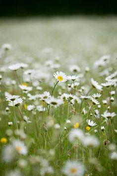oxeye daisy - leucanthemum vulgare | sarah raven