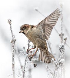 Sparrow by Pirjo-Riitta Iltanen Winter's Tale, Mundo Animal, Happy Animals, Little Birds, Winter Is Coming, Winter Garden, Winter Time, Beautiful Birds, Pet Birds