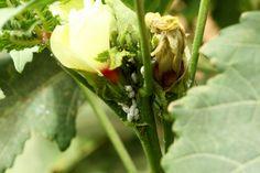 garden pests dubai