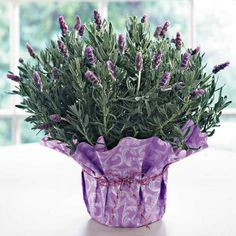 Put These Plants in Your Bedroom And You'll Sleep Better, Have you tried a heap of techniques to get good sleep Despite our earnest efforts the Sleep Indoor Bonsai, Bonsai Plants, Garden Plants, Indoor Plants, Indoor Gardening, Balcony Garden, Natural Air Purifier, Chocolate Hair, French Lavender