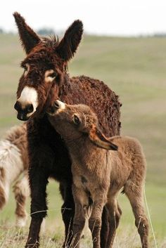 A baby donkey sniffing its mother's face. #cute