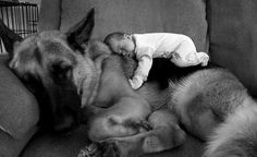German Shepherds are good pillows <3
