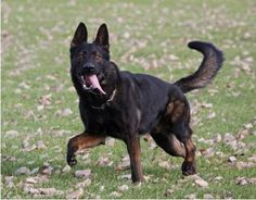 Pedigree information about the German Shepherd Dog Gordon vom Fuchsgraben Ddr German Shepherd, German Sheperd Dogs, German Shepherd Breeders, Shepherd Dogs, Shiba Inu, Malinois Dog, Sweet Dogs, Military Working Dogs, Best Dog Breeds