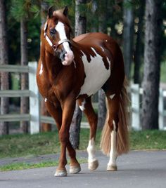 FLEET MACHINE 1991 APHA Stallion, 15.2 HH