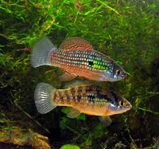 Jordanella floridae, the American flagfish.  Male above, female below.
