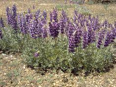 Silver lupine - Lupinus albifrons | Perennial Z?; nitrogen fixing