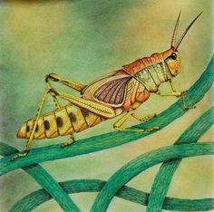Grasshoppers are herbivores. They eat grass. Grasshoppers can eat half of its body weight per day. Examples of Predators: Bees, wasps, birds Coloring Book Art, Colouring Pages, Adult Coloring, Enchanted Forest Book, Enchanted Forest Coloring Book, Curious Creatures, Insect Art, Colouring Techniques, Polychromos