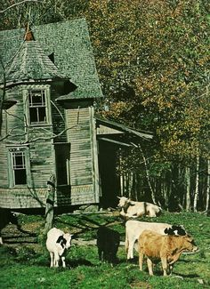vintagenatgeographic: Abandoned house keeps company with dairy cattle in Penobscot County, Maine National Geographic | June 1977