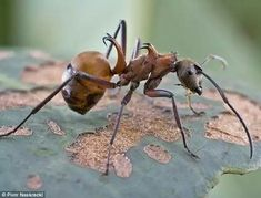 Fish hook ant. Hook together to prevent predators taking them.