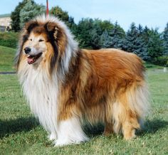 Collie-online: Pedigree database - Dolen Double Brandy at Brilyn