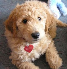 Goldendoodle - @Joshua Jenkins Burns this will be Andy sooon!
