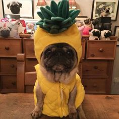Now, you could just go to the store and buy your dog an already made doggie costume, but why not try getting creative with it?
