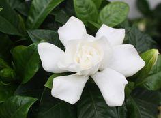 Gardenia - med doft som från paradiset