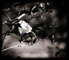 """Photo """"AtouchofcolorWinterCamellia"""" by WhiteOak56"""