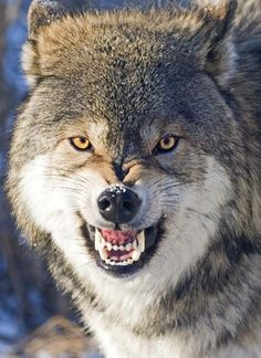 "Wolves have been the subject of many superstitions and legends. The wolf appears as a villain in fairy tales such as ""Little Red Riding Hood."" Although wolves are often portrayed as vicious, they rarely attack humans unless they are provoked. This beautiful fellow seems to be saying, DON'T EVEN THINK ABOUT IT."
