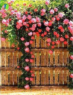200/bag Climbing Roses Seeds rose flower seeds for home garden planting