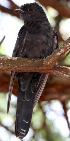 Black Cuckoo (Cuculus clamorus). Swartkoekoek.