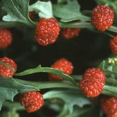 Strawberry spinach web1