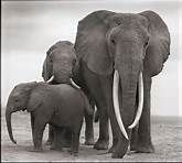 Nick Brandt Photography - Bing Images (pretty sure this is Qumquat and her family)