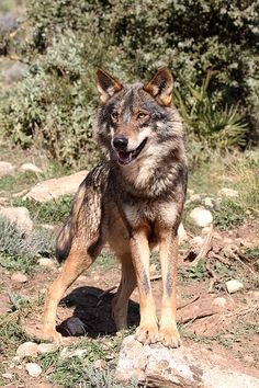 Iberian Wolf, Canis lupus signatus, this looks like my dog it's so crazy!